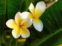 Plumeria rubra. Is a deciduous plant species belonging to the genus Plumeria. Originally native to Mexico, Central America, Colombia and Venezuela, it has been Stock Images