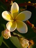 Plumeria rubra. Is a deciduous plant species belonging to the genus Plumeria. Originally native to Mexico, Central America, Colombia and Venezuela, it has been Royalty Free Stock Image