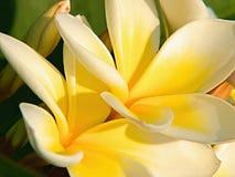 Plumeria rubra Royalty Free Stock Photo