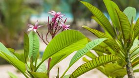 Plumeria rubra flower with green foliage on tropical sandy beach in background stock video footage