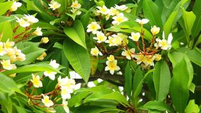 Plumeria rubra frangipani blooming flowers. Plumeria rubra or common frangipani flowering tree with white and yellow blooming flowers and vibrant green foliage stock video footage