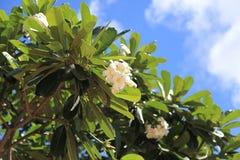 Plumeria rubra,  in guam royalty free stock photography