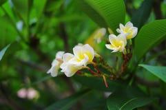 Plumeria rubra L cv acutifolia Obraz Royalty Free
