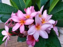 Plumeria rubra Royalty Free Stock Images