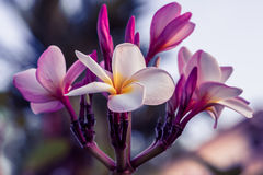 Plumeria rubra - Stock Image Royalty Free Stock Photos