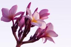 Plumeria rubra - Stock Image Stock Photo