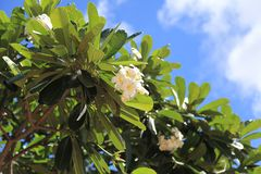 Plumeria rubra w Guam, fotografia royalty free