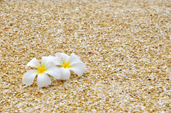 Plumeria on the sand Stock Images