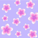 Plumeria background. Plumeria with pink petals on violet background Royalty Free Stock Photos