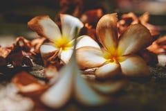 Plumeria secado Imagenes de archivo