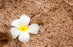 Plumeria on soft sand Stock Photos