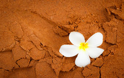 Plumeria on soft sand Royalty Free Stock Photo