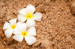 Plumeria on soft sand Stock Photography