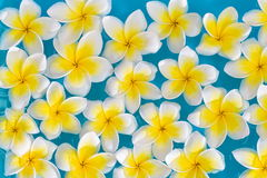 Plumeria spa flowers over shiny water background Stock Photos