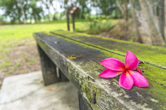 Plumeria spp Stockfotografie