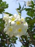 Plumeria spp Royaltyfri Foto
