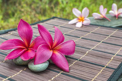 Plumeria spp Royalty Free Stock Images