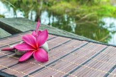 Plumeria spp Royalty Free Stock Image