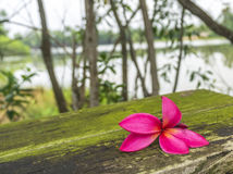 Plumeria spp Stock Photo