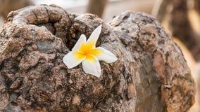Plumeria on the stone. Plumeria flower on the gresses Royalty Free Stock Photo