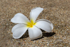 plumeria, su, isolated, natural, tropical, floral, white, spring Stock Image
