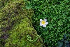 Plumeria su muschio Fotografie Stock Libere da Diritti