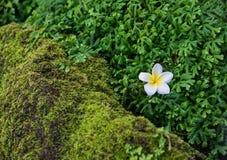Plumeria su muschio Fotografia Stock