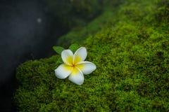 Plumeria su muschio Fotografie Stock