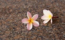 Plumeria sul pavimento del granito Immagini Stock Libere da Diritti
