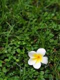 Plumeria sul pavimento dell'erba verde Fotografia Stock