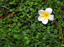 Plumeria sul pavimento dell'erba verde Immagine Stock