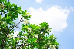 Plumeria sull'albero di plumeria Immagine Stock