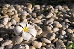 Plumeria sur la pierre Images stock