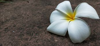 Plumeria sur la terre en pierre photo stock