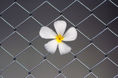 Plumeria sur le grillage Photos libres de droits