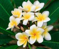 Plumeria tailandés Fotos de archivo