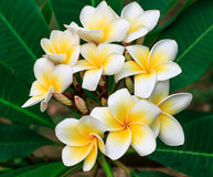 Plumeria tailandês Fotos de Stock