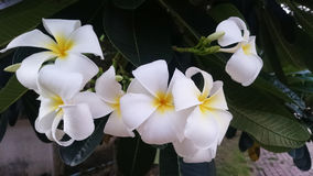 Plumeria tailandês Fotografia de Stock Royalty Free