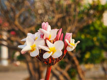 Plumeria. Royalty Free Stock Images