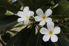 Plumeria Thailand Royalty-vrije Stock Afbeeldingen