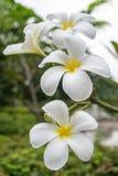 Plumeria Thailand Stockfotos