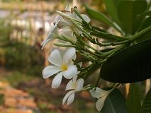 Plumeria6. Thom is a Khmer wood taken from the south called the ear I came mainly grown as White Frangipani Wooden said that this brought into cultivation in Stock Images