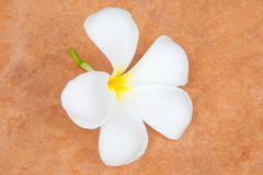 Plumeria on tile Royalty Free Stock Image