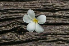 Plumeria on timber. Closeup white plumeria is fragrant botany Stock Images