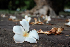 Plumeria tombant sur le plancher de ciment Photo stock