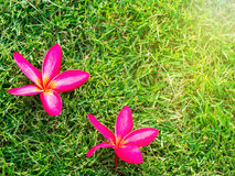 Plumeria Tone on Green lawn Stock Images