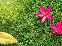 Plumeria Tone on Green lawn Vintage Royalty Free Stock Image