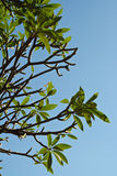 Plumeria tree Stock Photo