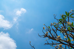 The Plumeria tree and blue sky Stock Image