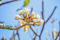 Plumeria on tree stock images